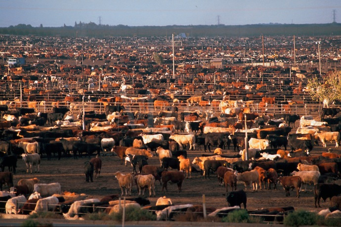 Cattle stockyard. Mendota, California.